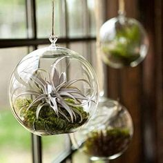 Let's make a living room decoration using air plants to decorate your living room. This air plant display idea will help you decorate your home using this unique plant. These indoor plants ne… Hanging Glass Planters, Hanging Air Plants, Hanging Terrarium, Air Plant Terrarium, Glass Terrarium, Succulent Terrarium, Indoor Plants, Mini Terrarium, Air Plant Display