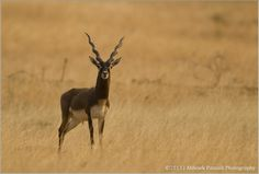 Name Is Buck - Black Buck....The blackbuck (Antilope cervicapra) is an antelope species native to the Indian Subcontinent that has been classified as near threatened by IUCN since 2003, as the blackbuck range has decreased sharply during the 20th century.[1]