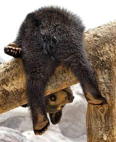 Baby Bear in Tree