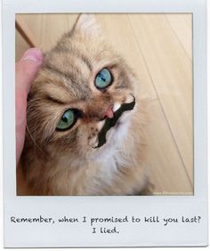 Kittenstache : Photo