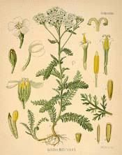 yarrow - supposedly Brigham Young said that in the last days, those who knew how to use yarrow, Mullen, Brigham's tea, comfrey, and chaparral would be glad for it.  Something like that.  MANY medicinal uses.