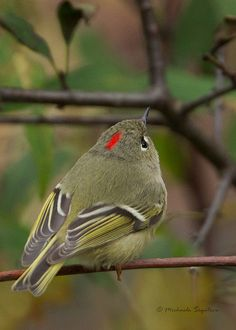 Ruby-crowned Kinglet -- whenever I see one of these I'm so amazed at how TINY they are!