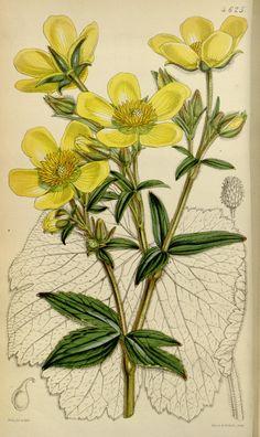 v.78 [ser.3:v.8] (1852) - Curtis's botanical magazine. - Biodiversity Heritage Library