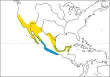 Hooded Oriole (Icterus cucullatus)