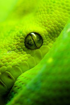 A lime green snake animals Beautiful Creatures, Animals Beautiful, Cute Animals, Nature Verte, Amazing Animal Pictures, Eye Pictures, Beautiful Snakes, Beautiful Eyes, Pretty Eyes