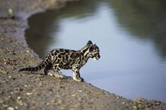 SO SWEET! A baby clouded leopard at the Sipahijala Wildlife Sanctuary in Tripura, one of 42 breeding centers in India. Rare Animals, Funny Animals, Beautiful Cats, Animals Beautiful, Zebras, Baby Leopard, Leopard Kitten, Leopard Cub, Big Cats