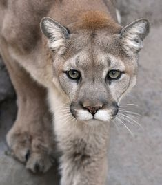 are panthers and mountain lions the same
