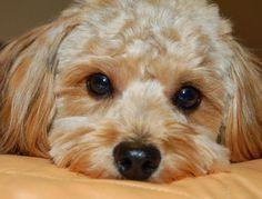 Como limpar os olhos do meu cachorro. Amamos o nosso cachorro e queremos vê-lo sempre contente e saudável, uma tarefa que depende em grande media dos cuidados que lhe damos. Alimentá-lo de forma adequada e mantê-lo limpo é muito important...