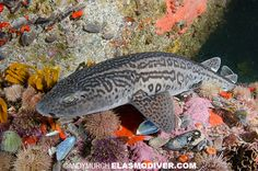 Leopard catshark species information diving logistics. Pictures of Poroderma pantherinum Zebra Shark, Cat Shark, Leopard Shark, Shark Tank, Shark Diving, Sharks, Shark Pictures, Saltwater Fish Tanks, Deep Sea Creatures