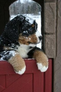 snowy Bernese mountain dog