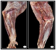 Anatomic Study of the Elbow Joint in a Bengal Tiger (Panthera tigris tigris) Using Magnetic Resonance Imaging and Gross Dissections Radius And Ulna, Sagittal Plane, Radial Nerve, Musculoskeletal System, Magnetic Resonance Imaging, Animal Anatomy, Bone Marrow