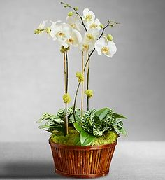"""White Orchid Bamboo Garden- Three glorious white Phalaenopsis stems, exotic foliage and a bed of green reindeer moss. Round lacquered bamboo container measures 4.25""""H x 12""""D $129.99"""