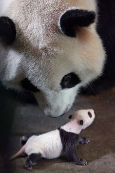 Gallery Black and white animals: A panda approaches her four week-old cub