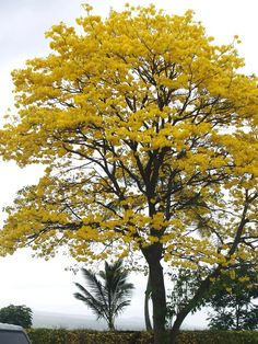Tabebuia chrysanthus commonly known as Yellow Tecoma or Gold Tree - growing on berm by the mouth of the Wailoa River in Hilo across from Suisan Fish Market