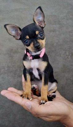 Top 5 Smallest dog breeds