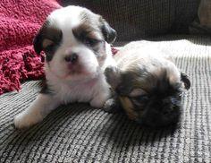 AKC shih tzu puppies