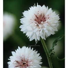 Buy Centaurea cyanus 'White' from Sarah Raven. The perfect filler in the garden and vase. It flowers longer than the blue centaurea and dries well.