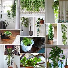Pothos plant - great for: - hanging in windows (creates privacy) - bathrooms (can tolerate the low light and high humidity) - high windows (trailing leaves balance a high, awkwardly situated window) - low windowsills or counter space (spots that might otherwise accumulate junk) - high corner selves (help brighten-up a dark corner) - your cubicle (can tolerate artificial light - Images via The Sill and Pinterest.
