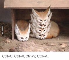These are fennec foxes just like Finnick! - 9GAG