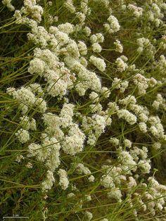 California Buckwheat by pellaea, via Flickr