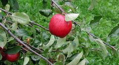 Ako správne zasadiť ovocný strom | Gazduj.sk