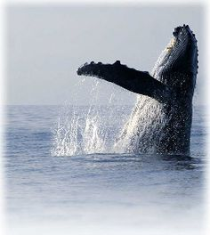 Whale watching, Cape Cod Provincetown, Rhode Island