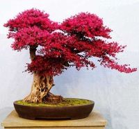 Bitkiler Loropetalum chinense bonsai https://app.alibaba.com/dynamiclink?touchId=60450729065