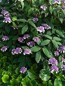 450004 - Sargent's hydrangea (Hydrangea aspera subsp. sargentiana)