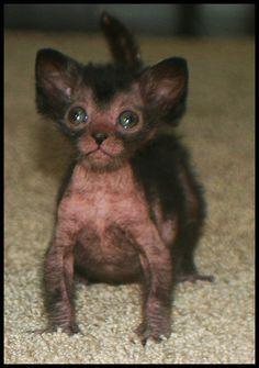 Lykoi Werewolf Cats, Kitty Cats, Dream Cats, Cats Lady