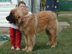 leonburger dog, hubby wants one so bad!