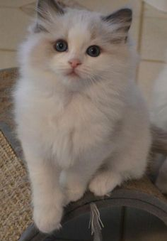 Floppy Kitty Oregon Ragdoll Cats & Kittens For Sale