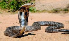 Cobra real, cobra más venenosa del mundo