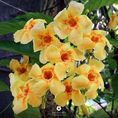 บานบุรีหอม ไม้เลื้อยดอกหอม สีแสดสดใส ดอกดก ช่อใหญ่ ออกดอกได้เรื่อยๆตลอดทั้งปี ปลูกเลี้ยงง่าย จับเลื้อยขึ้นซุ้ม ขึ้นโครงเหล็กได้  ชอบแสงแดดจัด ปลูกในกระถางก็ออกดอกได้
