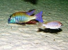 Lethrinops albus kande island