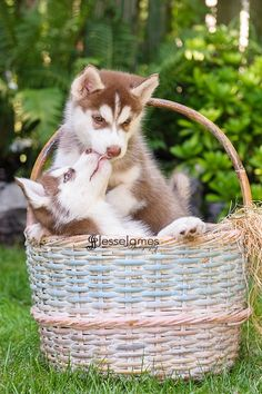 """Siberian Husky Puppies"" by Jesse James Photography. So sweet."