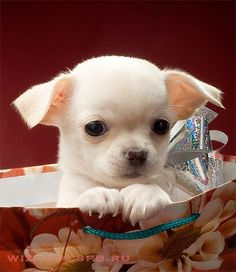 Effective Potty Training Chihuahua Consistency Is Key Ideas. Brilliant Potty Training Chihuahua Consistency Is Key Ideas. Cute Puppies, Cute Dogs, Dogs And Puppies, Doggies, Cute Baby Animals, Funny Animals, Chihuahua Love, White Chihuahua, Teacup Chihuahua Puppies