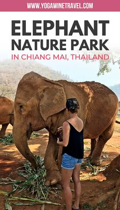 Thailand Travel Guide: Ethical Elephant Interaction at Elephant Nature Park in Chiang Mai. Chiang Mai in northern Thailand is home to dozens of elephant. Thailand Travel Guide, Bangkok Travel, Asia Travel, Riding Elephants In Thailand, Elephant Nature Park Thailand, Elephant Sanctuary Thailand, Ecuador, Chaing Mai Thailand, Chiang Mai Elephant