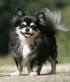 black long haired chihuahua - Google Search