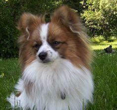Paperanian - Papillon / Pomeranian Hybrid Dog.