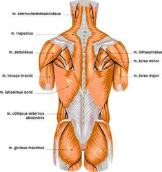 Human muscles: color charts detailing human muscle anatomy lower back pain chart