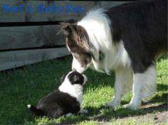 Bert the Border Collie - Purebred Dog Photo Gallery (25)