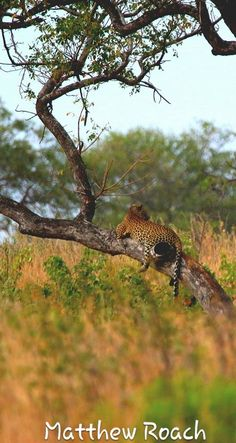 Our #FieldGuide @matt_outlook once again had an amazing #leopard sighting with his guests this past weekend in the #krugernationalpark HE really is #lucky with the #BigCats