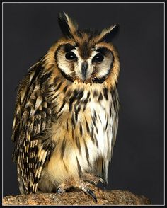 Mexican striped owl (Asio clamator) by John Booth (hawkgenes) - Unusual that they roost together in large communities...Central & S. America