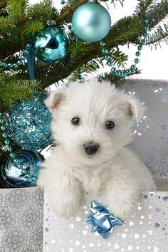 Snowy White Puppy Present ~ Westie!