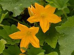Cukety vynikají velkými, zlatě zbarvenými květy Flowers, Plants, Garden, Compost, Garten, Planters, Royal Icing Flowers, Gardening, Outdoor