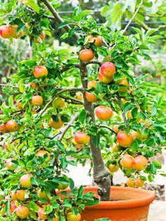 Dwarf Fiesta Apple Tree in pot