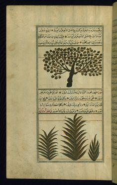 An apricot tree and a banana tree Wonders of Creation  by Qazwīnī 1293 was translated to Turkish in 1717  completed by Rūzmah-ʾi Nāthānī - W659