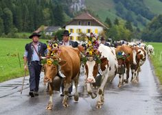 Bringing the cattle down from their summer pastures - Charmey à Freiburg, Switzerland (yes they really do dress the cattle up like this - bells, headdresses et al.) A celebration worth watching.