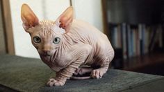 Allergy Sufferers Will Fall In Love With These Hairless Cat Breeds - Hairless Cat - Ideas of Hairless Cat - hairless-cat-breeds-sphynx The post Allergy Sufferers Will Fall In Love With These Hairless Cat Breeds appeared first on Cat Gig. Cute Kittens, Cats And Kittens, Hairless Cats For Sale, Elf Cat, Animals And Pets, Cute Animals, Animals Images, Homeless Dogs, Pet News