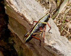 Hey we took this pic: eastern lubber grasshopper